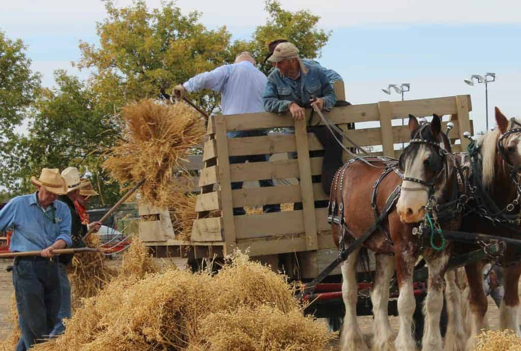 As part of a Harvest Demonstration, volunteers pitch bundles of oat stalks (sheaves) into the horse drawn stook wagon using pitch forks